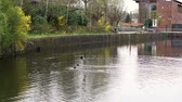 kaczka : duck swimming in Amsterdam canal shot in slow motion Wideo