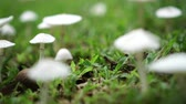 foco no primeiro plano : Group of white mushrooms growing on grass lawn 4k Vídeos