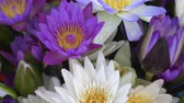 arranjando : Purple Lotus Water Lilies Flower Group Aquatic Plant
