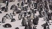 african penguin : Group Of South Africa Penguins Colony Sunbathing At Beach