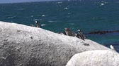 african penguin : South Africa Penguins Colony