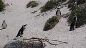 african penguin : Tiny Cute African Penguins Colony At Boulders Beach South Africa Stock Footage