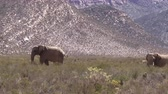 слоновая кость : South African Elephants Walking In Majestic Landscape