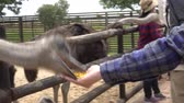 struś : Hand Feeding Ostrich At Farm Video