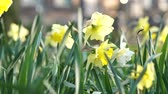 bloembollen : Beautiful Yellow Daffodils Flower In Amsterdam Slow Motion Stockvideo