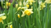 narcissus : Beautiful Yellow Daffodils Flower In Amsterdam Slow Motion Stock Footage