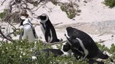 South African Penguin Couple Play At Nest In Boulder Beach Close Up Video Motion Стоковые видеозаписи