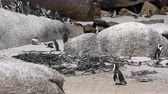 pinguin : Zuid-Afrikaanse Penguin Lopen In Colony Rock Scape