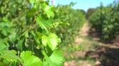wijnbladeren : Wineyard Rows In New World Agriculture Video in Zuid-Afrika Stockvideo