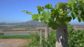 Green grapes wine yard in South Africa new world wine video Стоковые видеозаписи