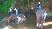 elefante : Chiang Mai, Thailand - 23 June 2019: Person Washing Elephant In River Before Show At Farm