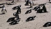 Penguins colony at South Africa beach Stok Video
