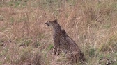 strong tea : Sitted cheetah in the savannah looking for a prey Stock Footage