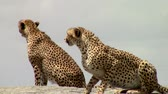 strong tea : Two cheetahs on a big rock in the Savannah