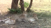strong tea : Three cheetahs under a tree