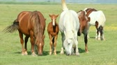 domestic : horses and foals in pasture Stock Footage