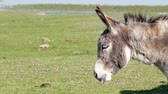 domestic : donkey portrait Stock Footage