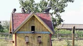 pigeon nest : pigeons standing at birdhouse  Stock Footage