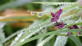 purple : dew drops on flower and grass macro