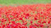 spring : wind blowing on red poppies flower field