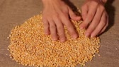 fabric : Yellow peas smooth on burlap. harvesting. smooth out hands
