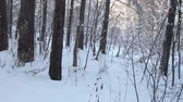 Tree branches covered with snow. Winter wonderland. Walking in the winter woods. Steadicam shot