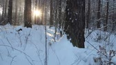 Sunlight in winter forest. Sun shines through tree branches covered with snow. Winter wonderland. Sun flare in winter tree. Sun rays in winter forest. Walking in the woods. Steadicam shot Стоковые видеозаписи