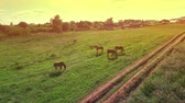 several : Several young beautiful horses graze in the evening on a meadow at yellow red sunset, aerial view fly around