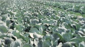 nutritious : Field with cabbage. Tilt-Shift lens