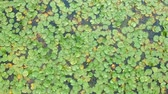 gomos : Lotus leaves and flowers in the lake, aerial top view, green water lilies and lotuses in the tropical waters, bird eye view footage.