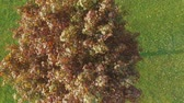 малиновый : Top view of red crimson and single maple tree in the fresh cut grass park. Alone tree in middle of a green field. Aerial footage close up.