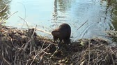 bóbr : Friendly Canadian beaver sits in the swamp and looking for food in the water.