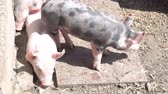 piglets : Little piglets on the farm Stock Footage