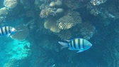 pupa : Undersea world. Coral fishes on the bottom of the Red Sea in Egypt