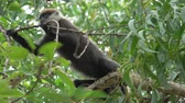 Monkey eats dry fruit on the tree in jungles of Sri Lanka