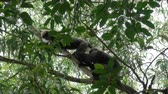tail : Two loving monkeys on the tree in the jungle of Sri Lanka
