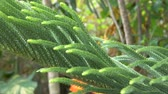 Araucaria. Green foliage of a fraser fir plant. Close-up
