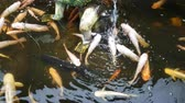 Japanese carp Koi swims in the pond. Breeding fish at home Stock Footage