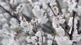 agricultura : Cold spring concept. Snow at white apricot flowers background. Video of unusual weather, bad harvest, agricultural problem.