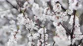 snowfall : Apricot flowers closeup and snowfall. Blooming fruit garden at spring and unusual weather. Problem in horticulture, bad harvest, abrupt cooling, climate change concept. Stock Footage