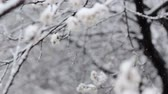 снегопад : Snowfall in spring blooming fruit garden. Video with selective focus of snow falling on white flowers. Unusual weather, bad harvest, agricultural problem concept Стоковые видеозаписи