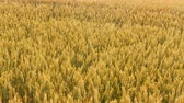 Crop harvesting. Yellow field of rye or wheat moving in the wind. Grain production Vídeos