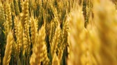 рожь : Grain production. Golden rye or wheat in a field. Sliding shot