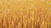 fértil : Organic farming. Yellow field of rye or wheat. Stems with spikelets Vídeos