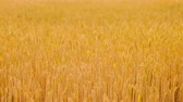 Crop harvesting. Golden rye or wheat in a field slightly moving
