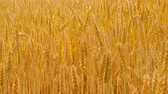 Agriculture and food production. Yellow field of rye or wheat spikelets
