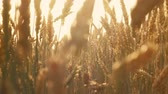 Agriculture and food production. Yellow field of rye or wheat spikelets. Sun flares Vídeos