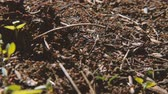 hodina : Teamwork and cooperation. Hardworking colony of ants running in the ground. Dostupné videozáznamy