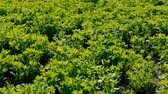 agronomia : Agricultural farming. Lucern field. Agronomy and livestock feed production