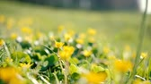 зелень : Spring flower abundance. Field of buttercups. Nature greenery and yellow blossom. Sliding shot with selective focus. Стоковые видеозаписи